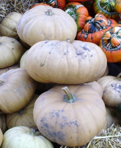 Long Island Cheese pumpkins 2 web