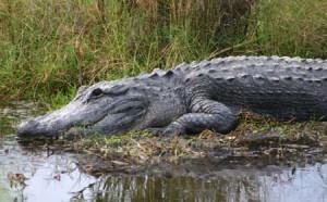 Big gator up close 2