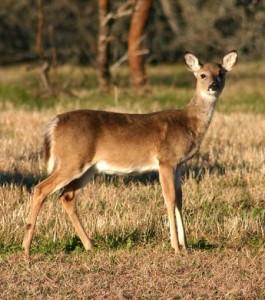 Deer 5 web