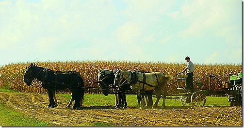 Amish farm horse team