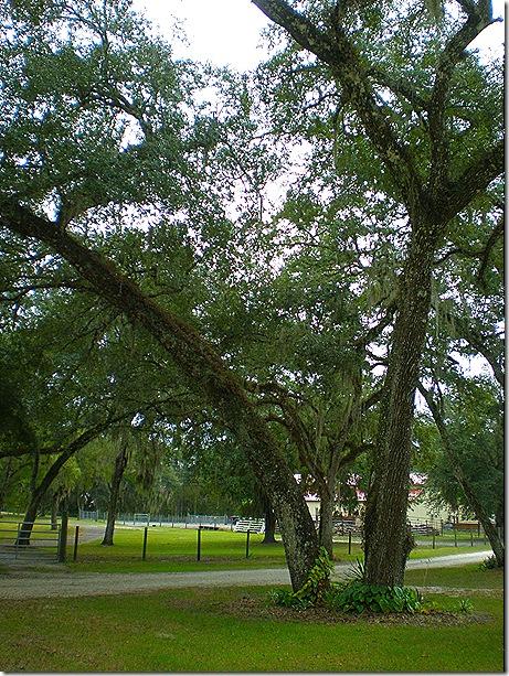 Sumter Oaks trees 2