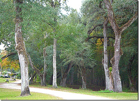 Sumter Oaks trees 3