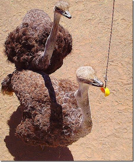 Ostrich fishing 2