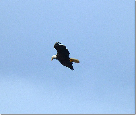 Eagle flying 5
