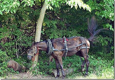 Amish horse 2