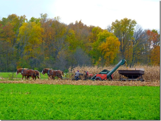 Amish corn harvest