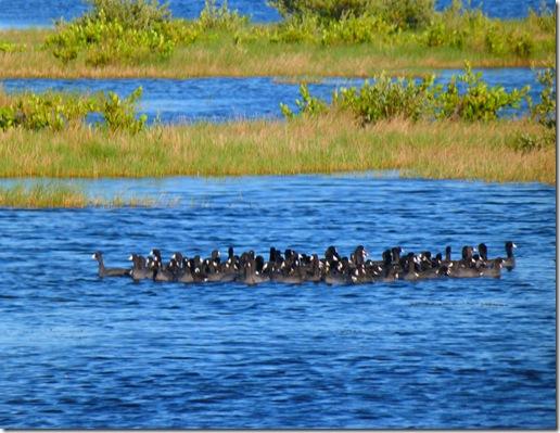Birds swimming 2