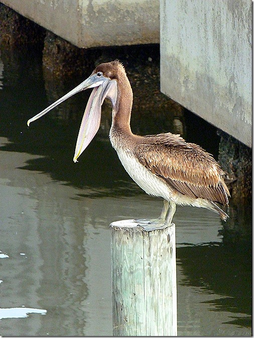 Brown pelican mouth open