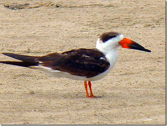 Beach bird 2