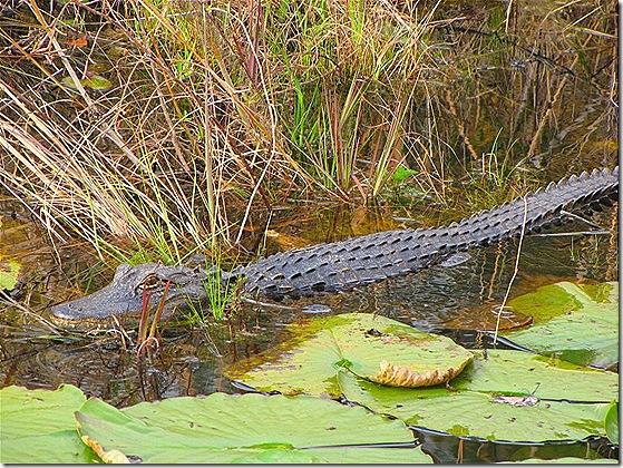 Gator 2