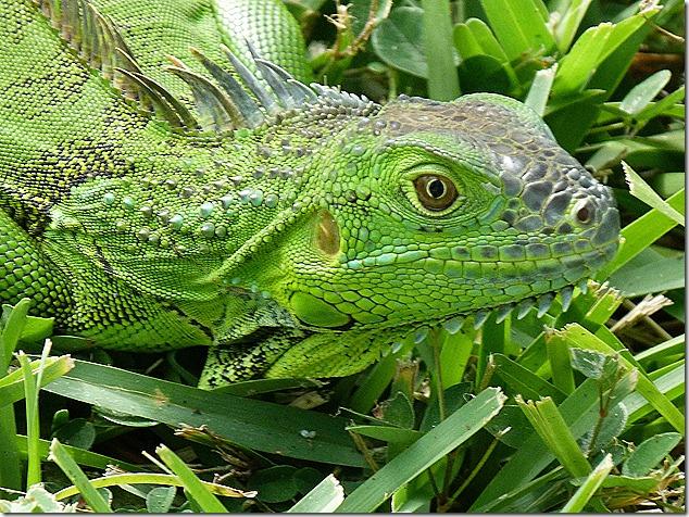 Iguana face5