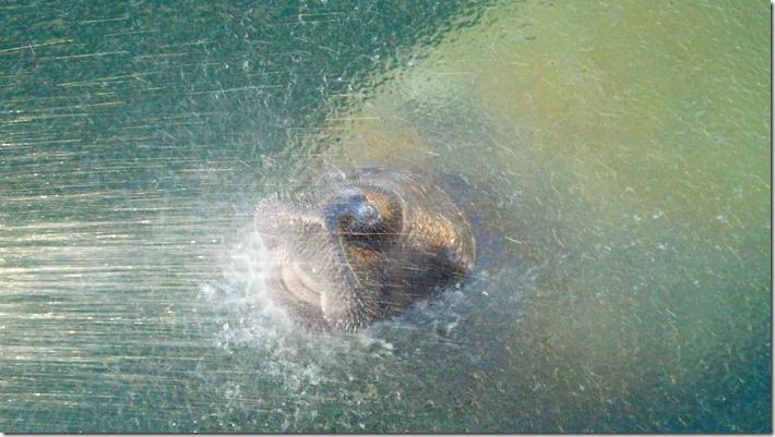 Watering manatee 4