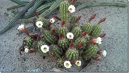 White cacti 3