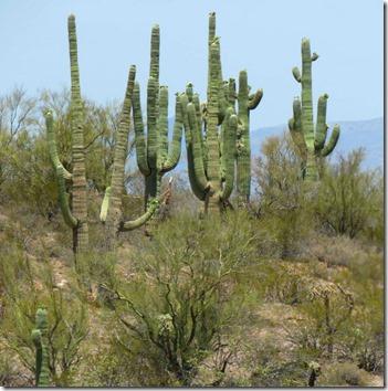 Saguaro 2
