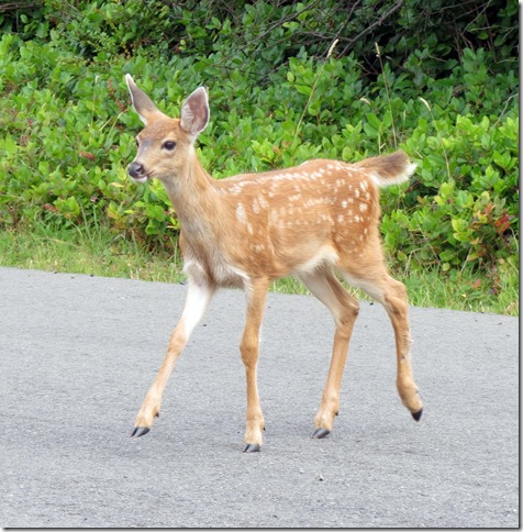 Fawn on road