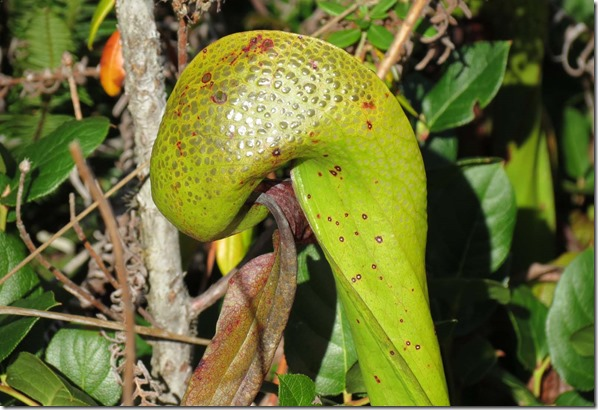 Darlingtonia close 2