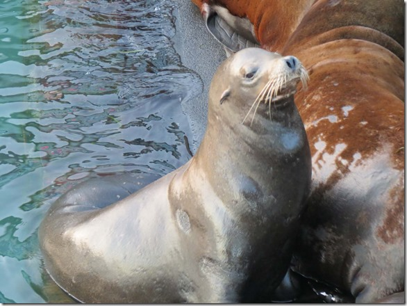 Sea lion close 2