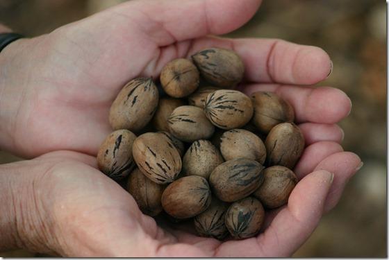 Handful of pecans 2