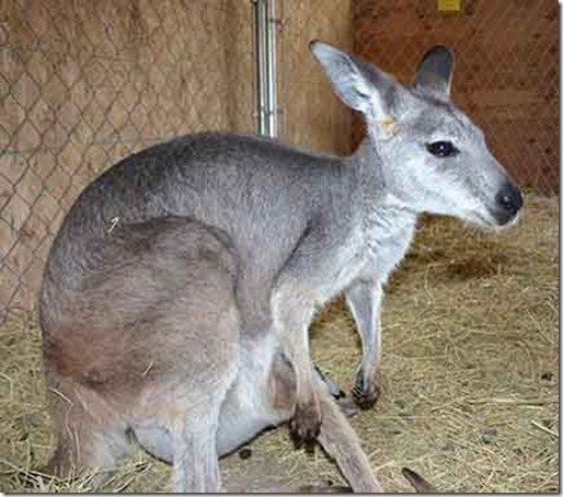 kangaroo 8
