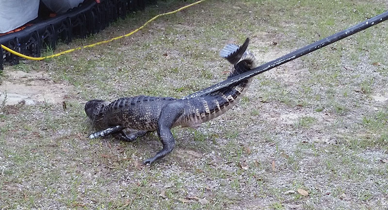 Gator fighting 3 small