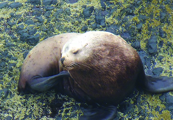 Sea Lion scratching 2