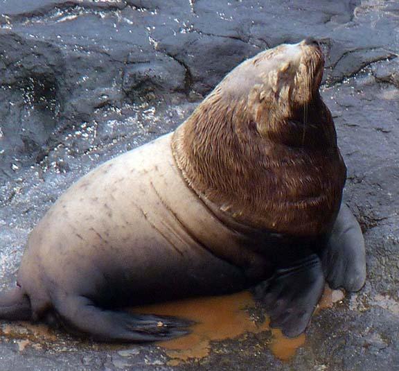Snooty sea lion